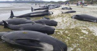 Balene spiaggiate in Nuova Zelanda