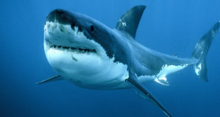 Ragazzo ucciso da squalo mentre fa surf